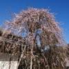 手入れされた枝垂れ梅